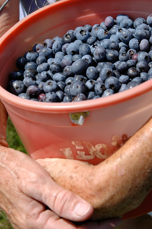 Bev Shaffer - So She Reminisced - Basket of Blueberries in Farmers Hands